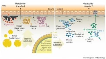 蜜蜂後腸菌叢消化花粉的過程 (參考自 Bonilla-Rosso and Engel /2018)
